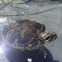 Vodní želvy - obecný popis