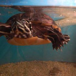 Jak rozeznat pohlaví želv
