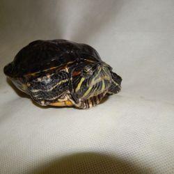 Převoz želvy