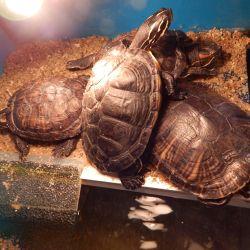 Naše vodní želvy po zimním spánku